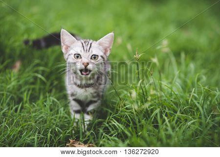 Cute American Short Hair kitten playing on green grass