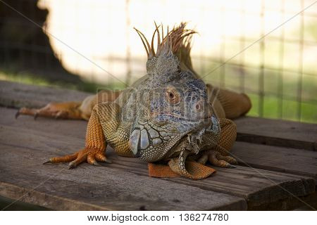 Green Iguana resting on the wood with selected focus