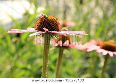 Echinacea with bumblebee in country home rustic ecological garden by very sunny day