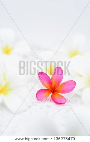 A pink frangipani surrounded by white frangipani's.