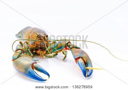 A crayfish also known as a (yabbie) with blue claws on a white background.