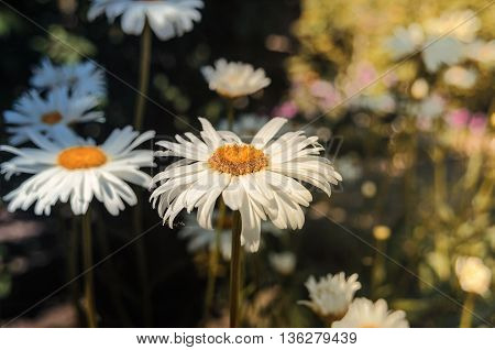 Camomiles in a shadow. In the foreground - one camomile. Other camomiles on a background not in a sharpness zone. A scene of action - the country yard. Time - midday. Outdoors. Horizontal format. Color. Photo.