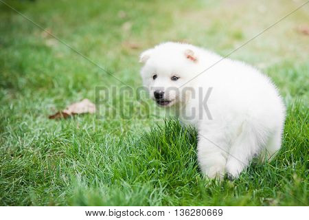White puppy waking and look back on green grass under sunlight