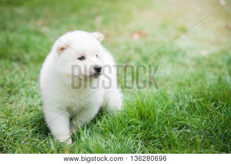 White puppy waking on green grass under sunlight