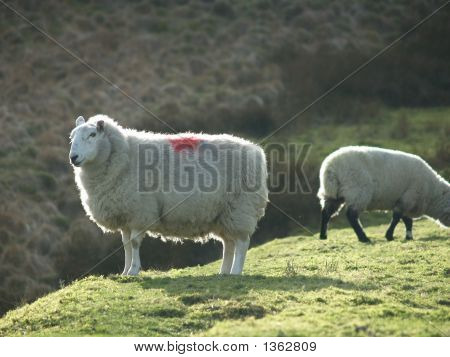 Two Sheep On The Hillside
