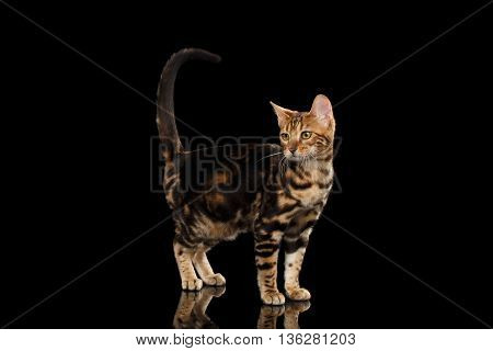 Little Bengal female Cat Standing and Raise tail on Isolated Black Background, Side view