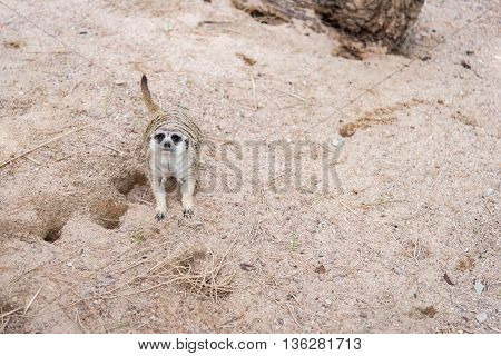 Close up of meerkat lying in nature