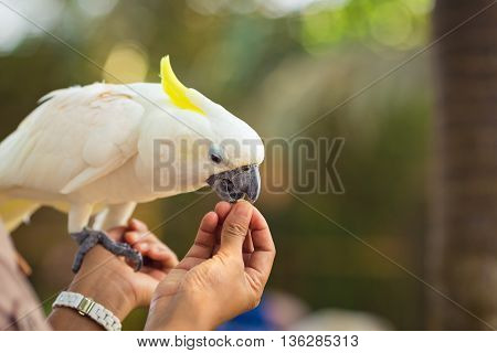 Beautiful white Cockatoo, Sulphur-crested Cockatoo is eating from hands