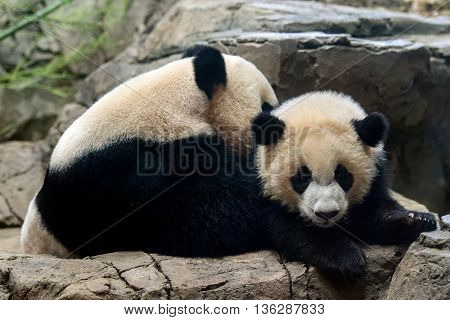 Giant Panda Newborn Baby Portrait Close Up