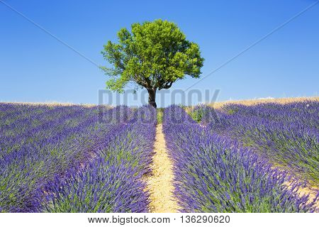 lavender fields with tree French Provence, Europe.