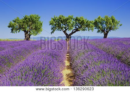 lavender fields of the French Provence, Europe