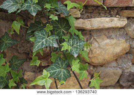 Wild vine leaves with white streaks in front of stone wall in Georgia