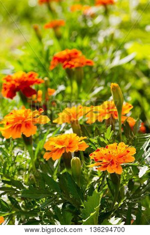 a bed of marigold flowers (Calendula officinalis) summer Sunny day. selective focus shallow depth of field