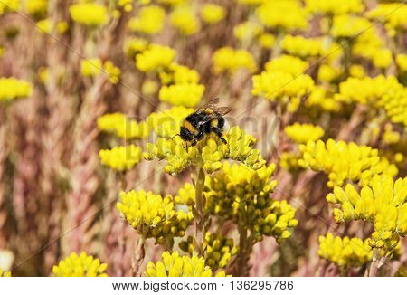 Bumble-bee and yellow sedum flowers. Detailed natural scene. Fauna and flora. Beauty in nature. Vibrant colors.