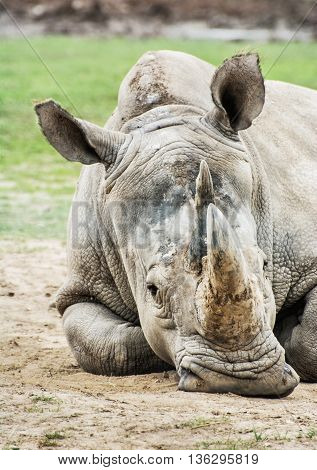 Close up profile portrait of the big White rhinoceros - Ceratotherium simum simum. Animal scene. Critically endangered animal species. Vertical composition.