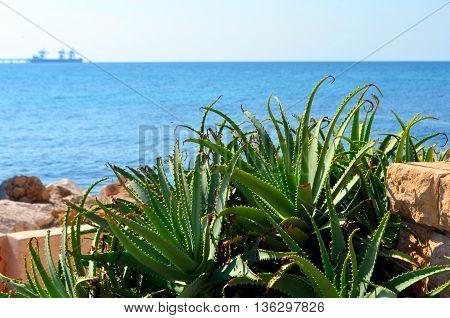 Aloe plant at the coast.  Israel.  Aloe on the backgroud sea.