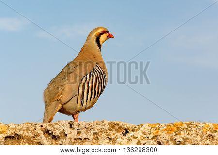 Chukar Partridge (Alectoris chukar) - greek bird on a stone wall and against blue sky looking away