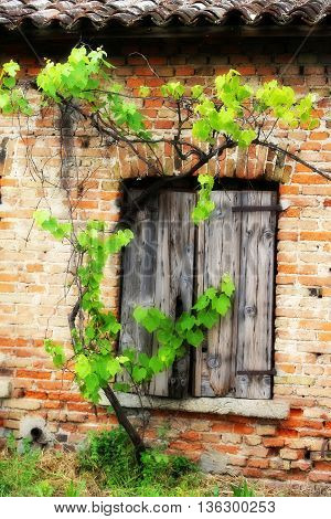 Window Of The Old Brick House And A Vine Branch Vineyard