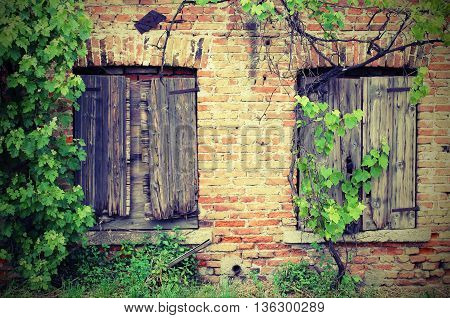 Two Windows Of The Old Brick House And A Vine Branch Vineyard