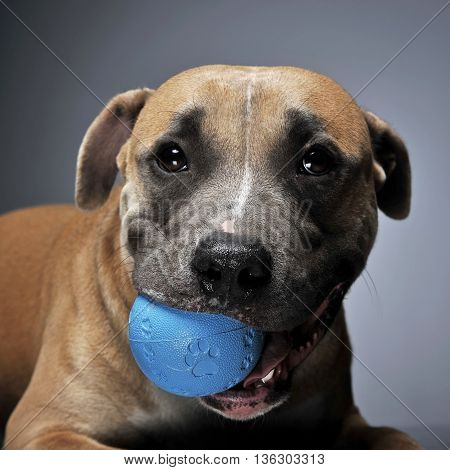 Staffordshire Terrier In A Dark Studio With Ball