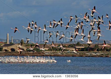 Pink Flemishes Flight