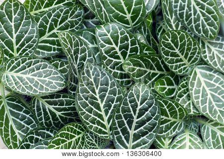 Green foliage of Fittonia Albivenis ground cover plant