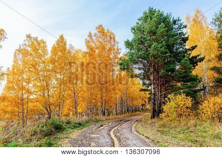 Road through autumn forest, birch trees, evergreen Spruce