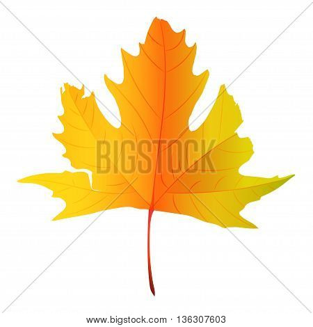 Maple leaf vector illustration, illustration with beautiful autumn maple leaf isolated on white background