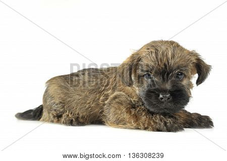 Puppy  Cairn Terrier Lying On The Floor