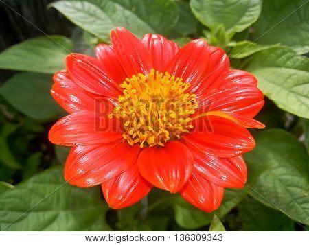 close up pollen of red zinnia flower