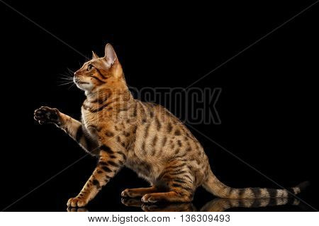 Playful Bengal female Cat with beautiful spots Sitting and Raising up paw on Isolated Black Background, Side view, Gorgerous breed
