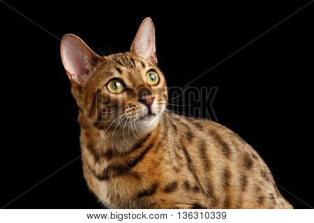 Close-up Curious Face of Bengal female Cat with beautiful spots on Back, Looking up with Interest, Isolated Black Background, Front view