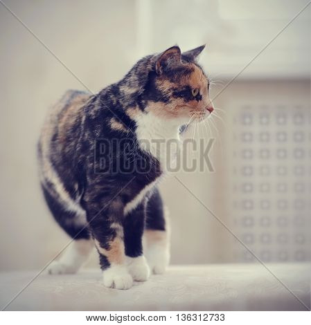 Domestic multi-colored cat with white paws costs.