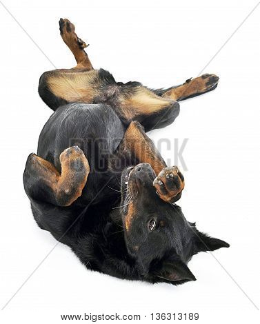 Beauceron Lies Supine In A White Background Studio