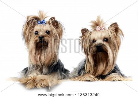 Two Sweet Yorkshire Terriers Relaxing In A Wehite Studio