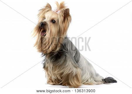 yorkshire terrier in a wehite photo studio