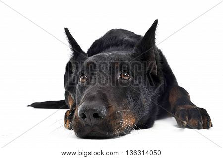 Beauceron Relaxing On A White Background Studio