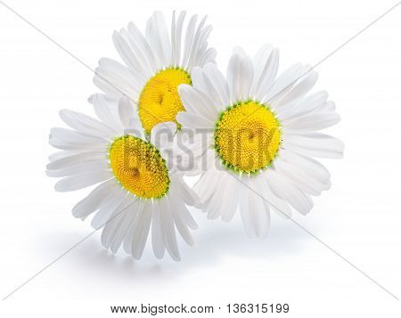 Backlit chamomile (Chrysanthemum maximum) flowers. Infinite depth of field clipping paths shadow and flowers separated