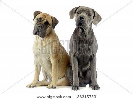Bull Mastiff And Puppy Cane Corso Sitting In A White Studio Floor