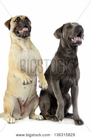 Bull Mastiff And Puppy Cane Corso Sitting And Standing In A White Studio Floor