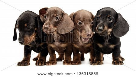 Four Lovely Puppy Dachshunds Staying Side By Side In White Studio