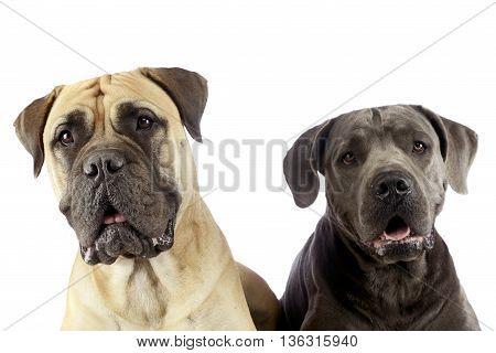 Bull Mastiff And Puppy Cane Corso Portrait In A White Studio