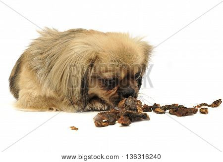Cute Little Mixed Breed Dog Eating Dried Meat In White Studio Flooor