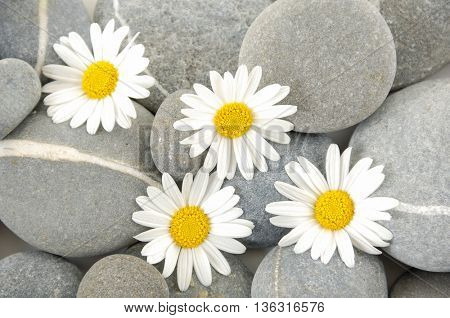 white gerbera with gray stones
