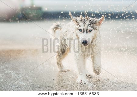 Cute siberian husky puppy running in the rain