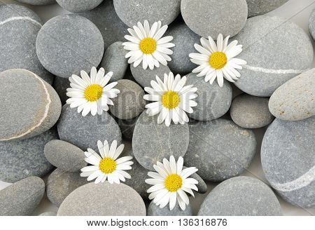 white gerbera with therapy stones