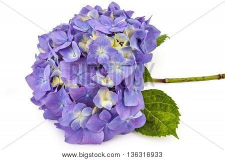 Beautiful purple hydrangea flowerhead, Hydrangea macrophylla, isolated on white background