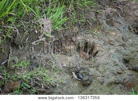 Fresh brown bear cub footprint, imprinted on the clay. Russia.