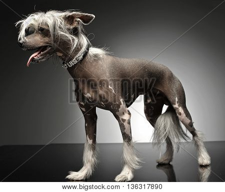 Chinese Crested Dog Standing In Gray Background