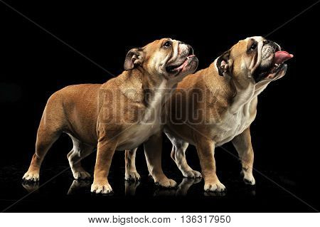 Two Bulldogs Standing And Looking Sideways With Open Mouse In A Black Photo Studio